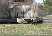 Geese at Lock E5, with Lock E6 in the background.